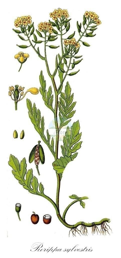 Historical drawing of Rorippa sylvestris (Creeping Yellow-cress) | Historical drawing of Rorippa sylvestris (Creeping Yellow-cress) showing leaf, flower, fruit, seed