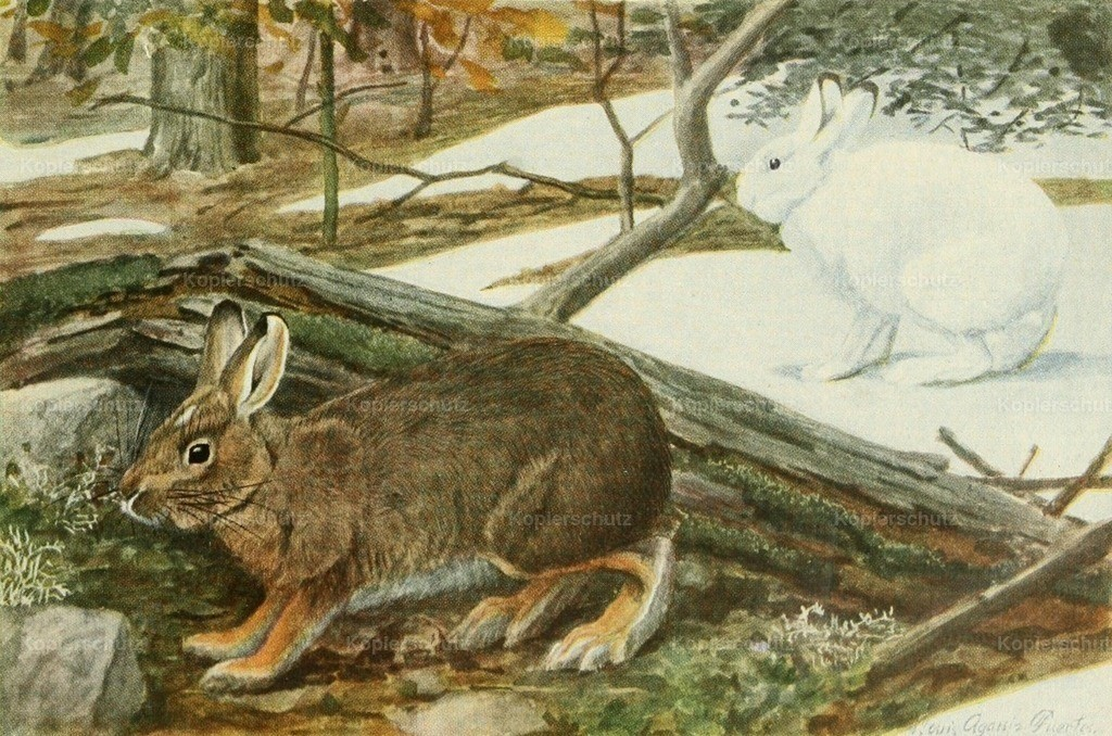 Fuertes_ L.A. (1874-1927) - Wild Animals of N. America 1918 - Varying Hare