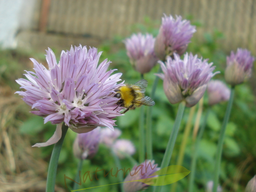 Bienenglück | Schnittlauchblüte - eine Blüte für Bienen und Insekten in zartem Lila.