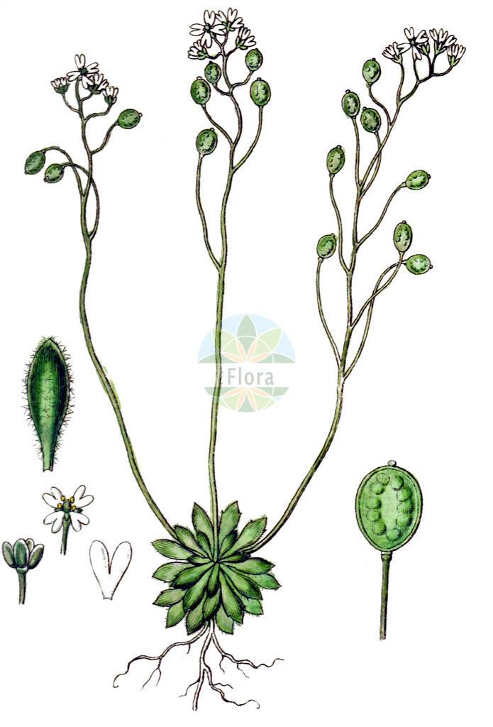 Erophila verna subsp. spathulata (Rundfruechtiges Hungerbluemchen - Fruited Whitlowgrass) | Historische Abbildung von Erophila verna subsp. spathulata (Rundfruechtiges Hungerbluemchen - Fruited Whitlowgrass). Das Bild zeigt Blatt, Bluete, Frucht und Same. ---- Historical Drawing of Erophila verna subsp. spathulata (Rundfruechtiges Hungerbluemchen - Fruited Whitlowgrass).The image is showing leaf, flower, fruit and seed.