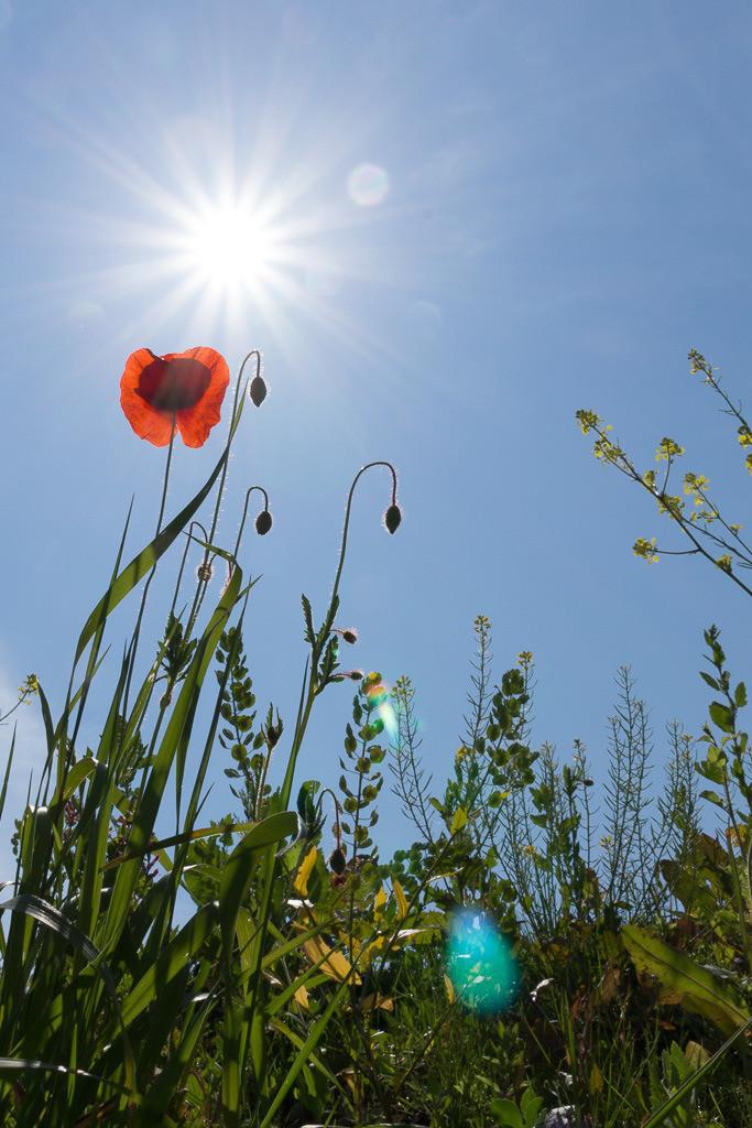 Mohnblume mit Sonnenstern