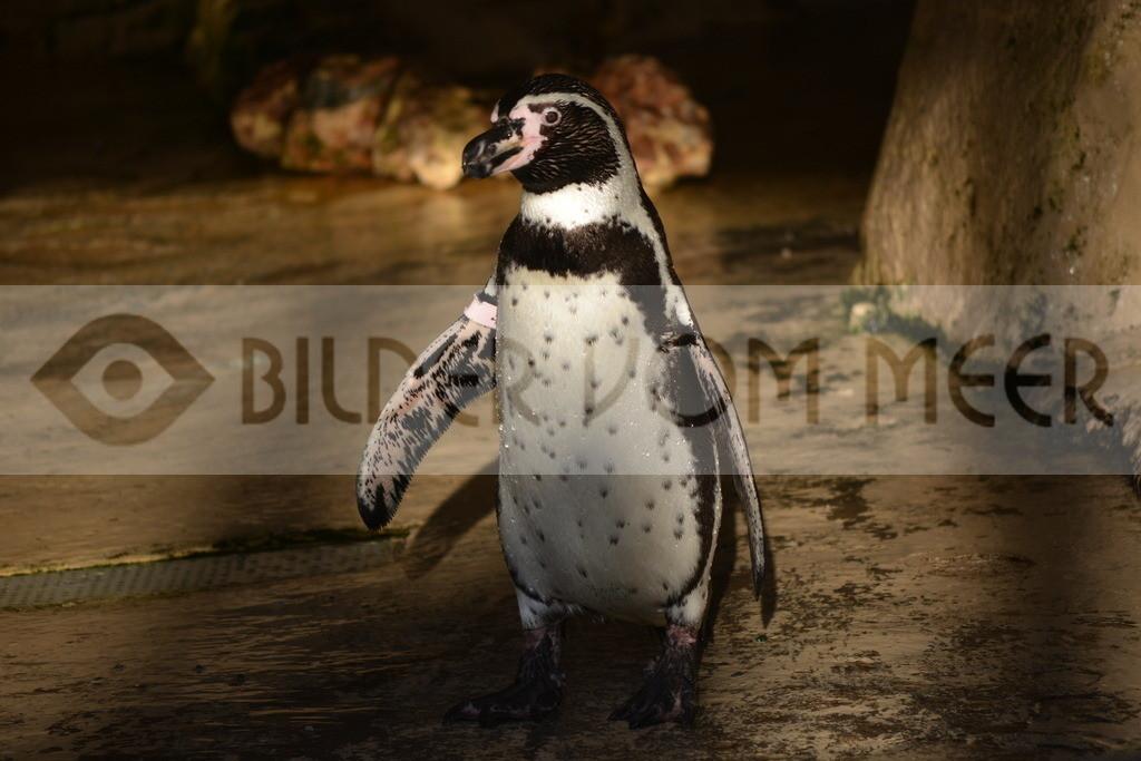 Pinguin Bilder | Foto Pinguin Spanien