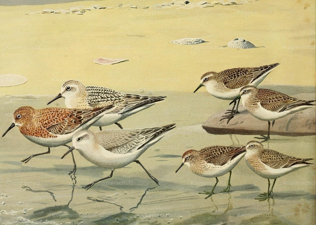 Fuertes_ L.A. (1874-1927) - Birds of Massachusetts 1925 - Sandpipers _ Sanderling