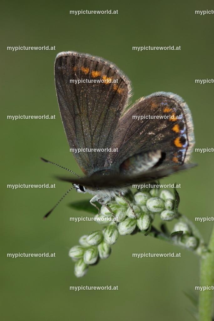 Polyommatus icarus-008