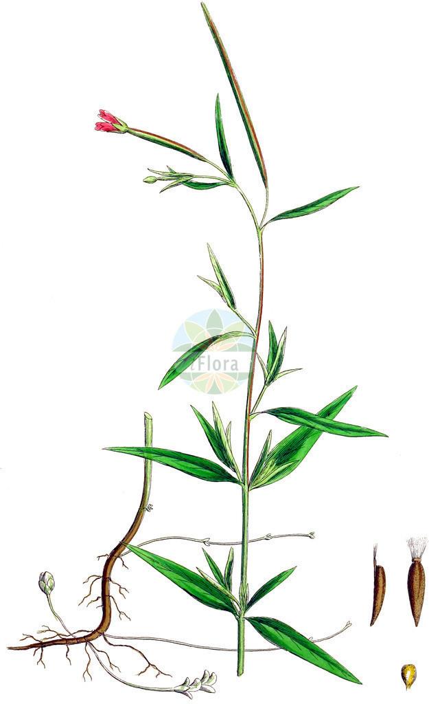 Epilobium palustre (Sumpf-Weidenroeschen - Marsh Willowherb) | Historische Abbildung von Epilobium palustre (Sumpf-Weidenroeschen - Marsh Willowherb). Das Bild zeigt Blatt, Bluete, Frucht und Same. ---- Historical Drawing of Epilobium palustre (Sumpf-Weidenroeschen - Marsh Willowherb).The image is showing leaf, flower, fruit and seed.