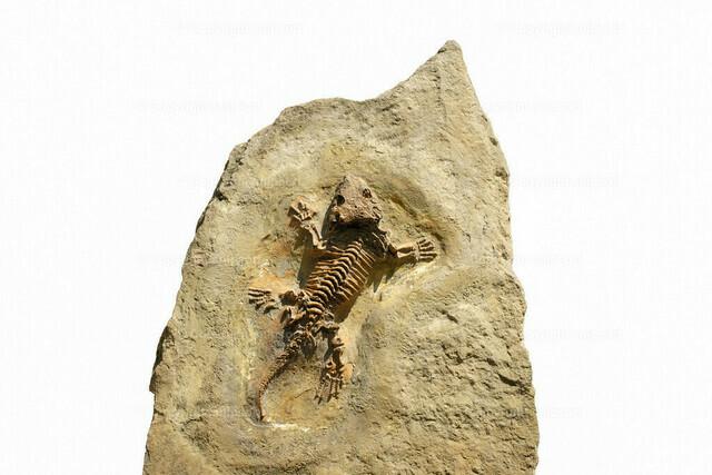 Fossil eines Seymouria Skeletts auf einer Steinplatte