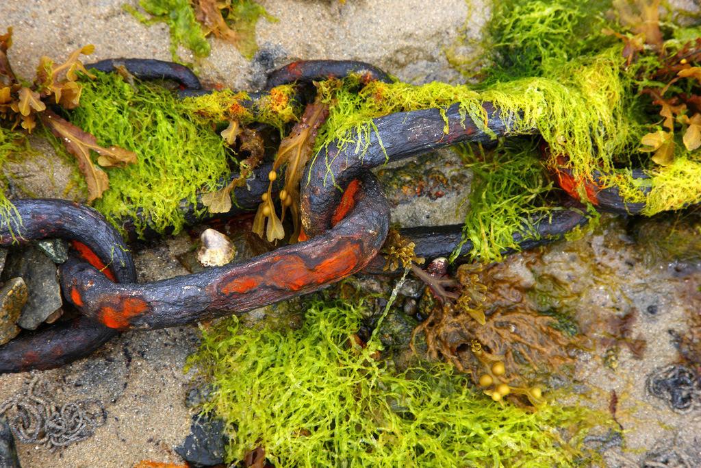 Seetang | Seetang, Meerespflanzen, bei Ebbe.Rostige Ankerkette eines Fischerboots.