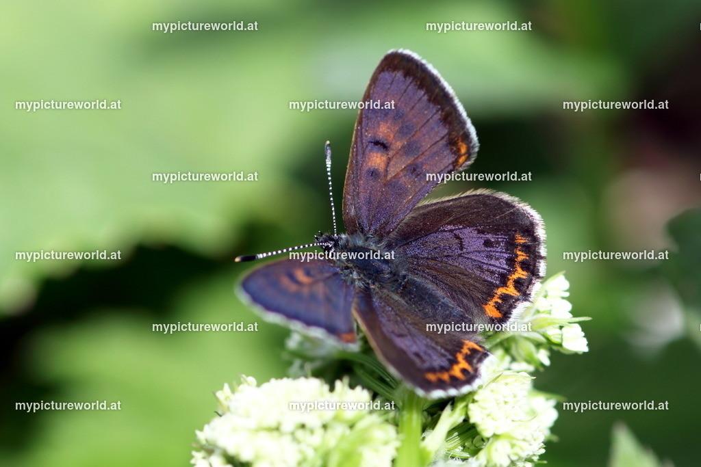 Lycaena helle-002