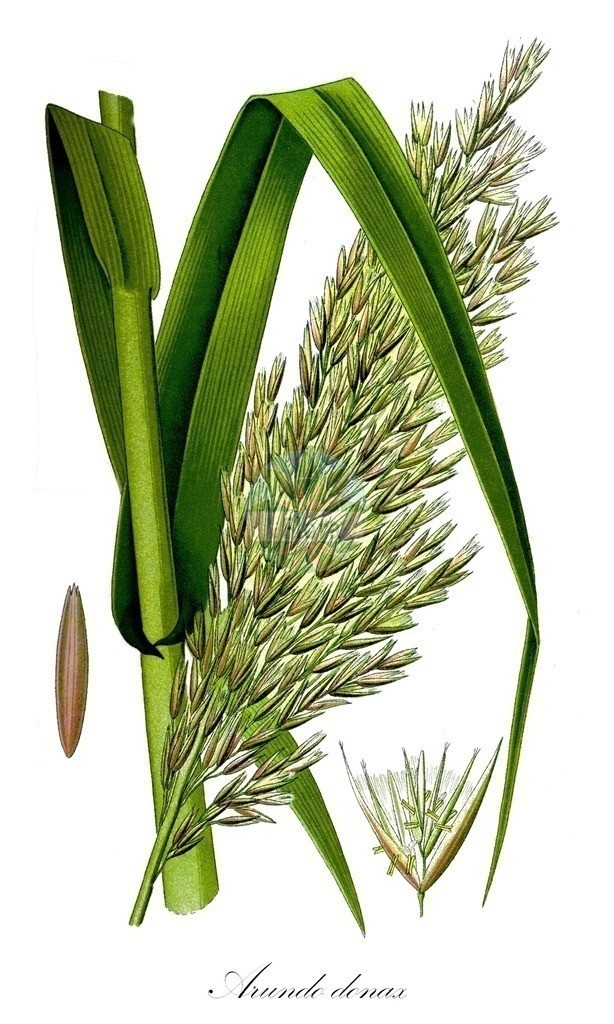 Historical drawing of Arundo donax   Historical drawing of Arundo donax showing leaf, flower, fruit, seed