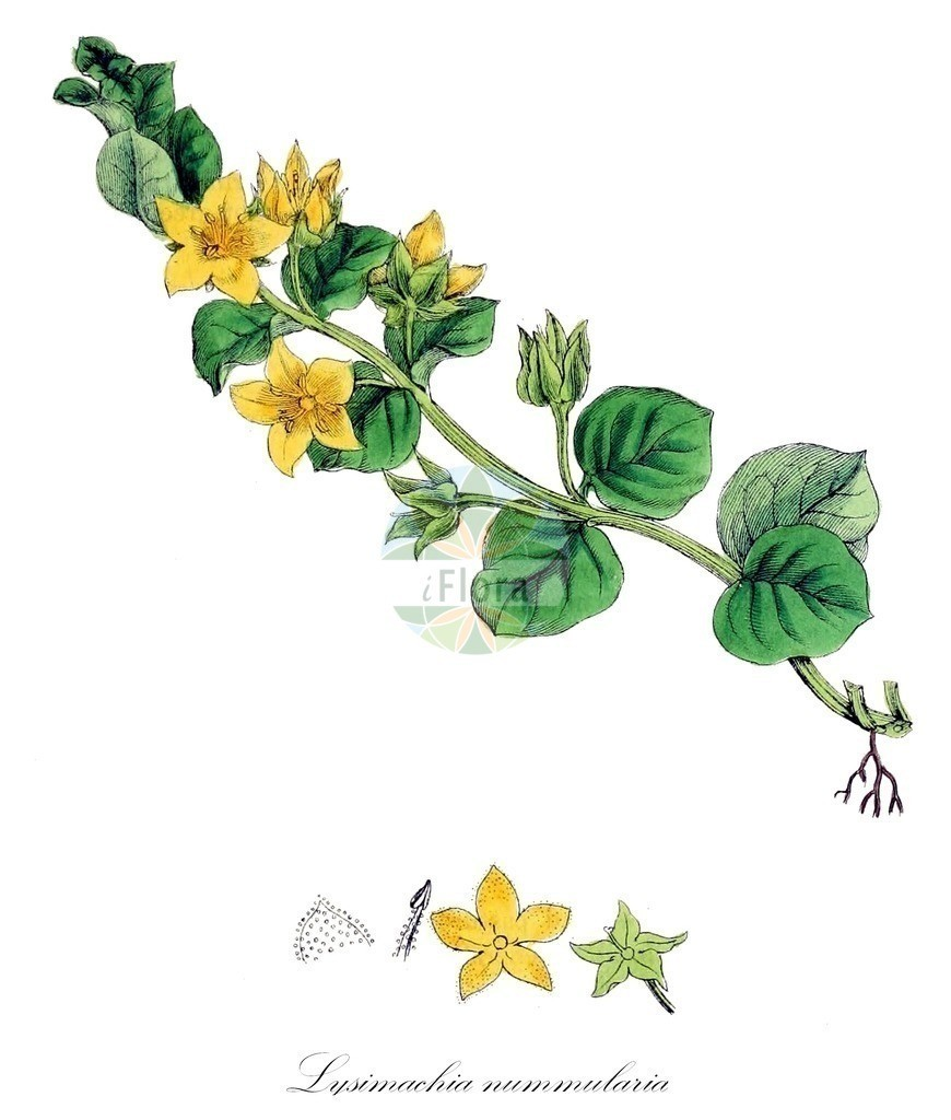Historical drawing of Lysimachia nummularia (Creeping-Jenny) | Historical drawing of Lysimachia nummularia (Creeping-Jenny) showing leaf, flower, fruit, seed