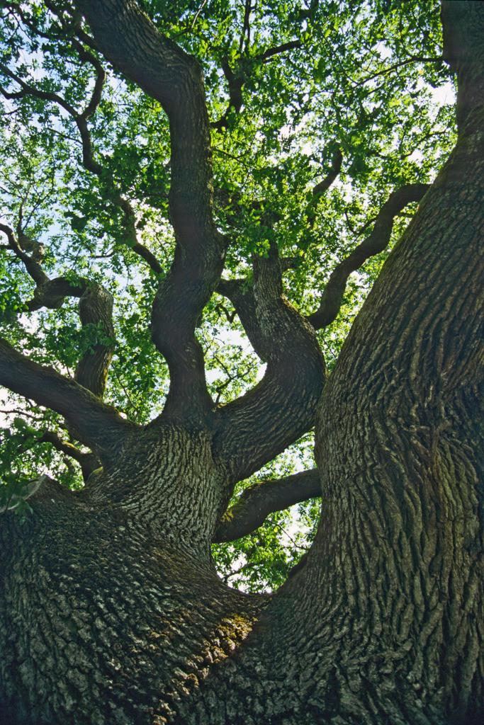 Best. Nr. BäumeGrün02   Eiche in Muckross Gardens, Co. Kerry, Irland