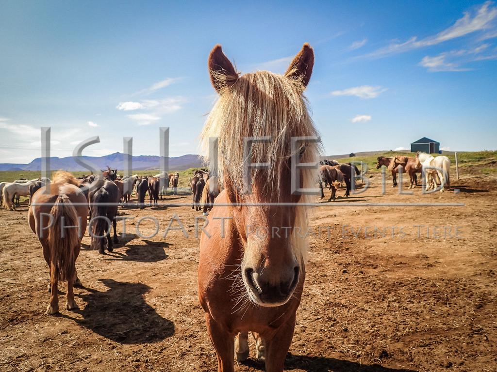 Islandpferde | auf Island