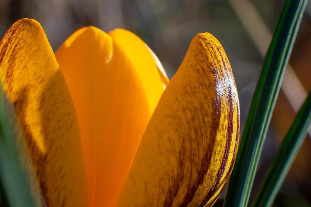 Detailaufnahme einer Krokusblüte