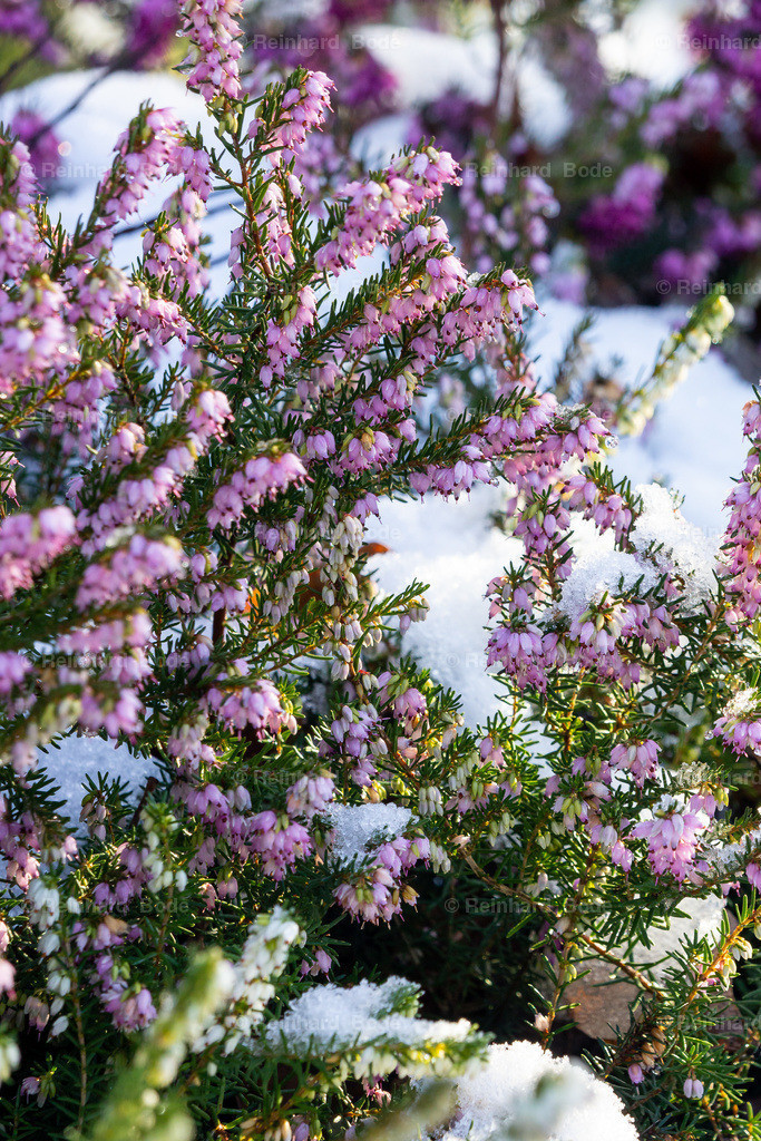 Schneeheide (Erica carnea 'Winter Beauty')