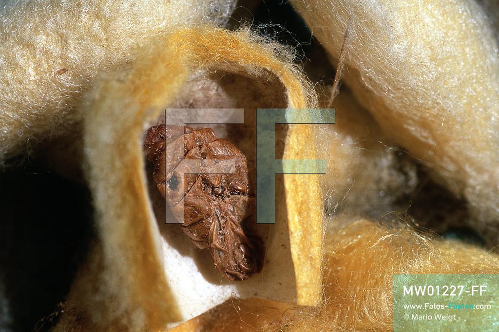 MW01227-FF | Kambodscha | Siem Reap | Reportage: Seidenherstellung | Der Seidenspinner ist ein Schmetterling, der nach der Paarung winzige Eier legt. Nach 10 bis 12 Tagen schlüpfen Raupen, die 24 Tage nur Maulbeerblätter fressen und sich dann verpuppen. Nach weiteren 10 Tagen werden die Kokons gekocht, so dass die Larven im Inneren absterben, und die Rohseide wird von den Kokons abgehaspelt.   ** Feindaten bitte anfragen bei Mario Weigt Photography, info@asia-stories.com **