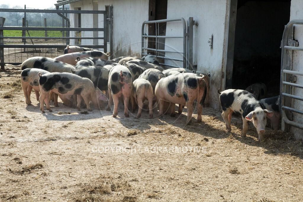 20130425-_MG_6216 | Bioschweine - AGRARMOTIVE Bilder aus der Landwirtschaft