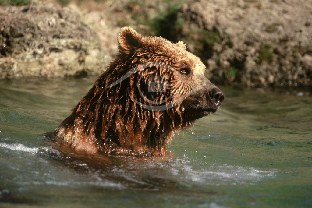 Grizzly_9-40x60