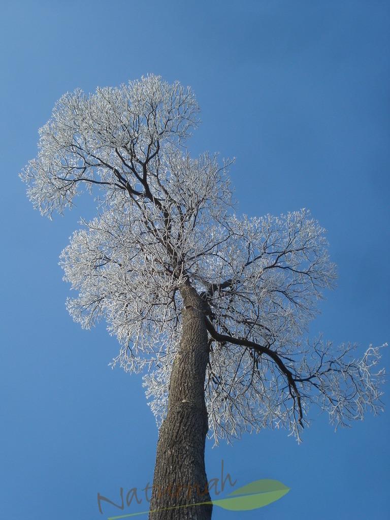Klosterbaum mit weßer Pracht
