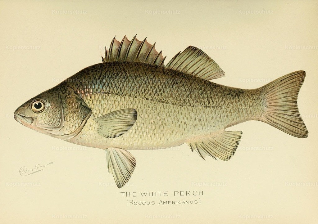 Denton_ S.F. (1856-1907) - Commissioners of Fisheries NY 1899 - White Perch