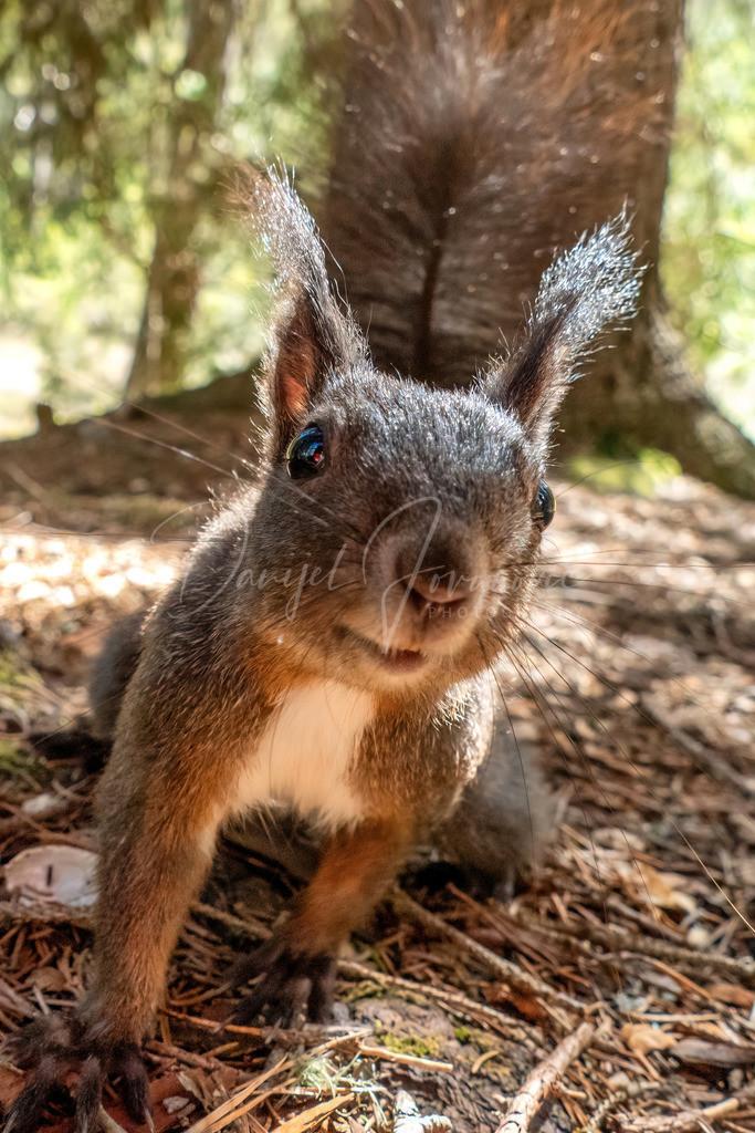 Eichhörnchen | Neugieriges Oachkatzl
