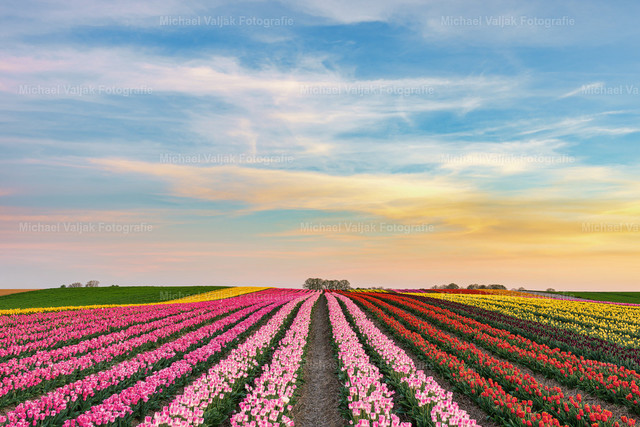 Abends in einem Tulpenfeld am Niederrhein | Sonnenuntergang in einem Tulpenfeld bei Grevenbroich. In Deutschland werden vor allem in der Region Niederrhein Tulpen produziert. Im Rhein-Kreis Neuss liegt das größte Tulpenanbaugebiet in Deutschland.