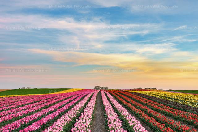 Abends in einem Tulpenfeld am Niederrhein   Sonnenuntergang in einem Tulpenfeld bei Grevenbroich. In Deutschland werden vor allem in der Region Niederrhein Tulpen produziert. Im Rhein-Kreis Neuss liegt das größte Tulpenanbaugebiet in Deutschland.