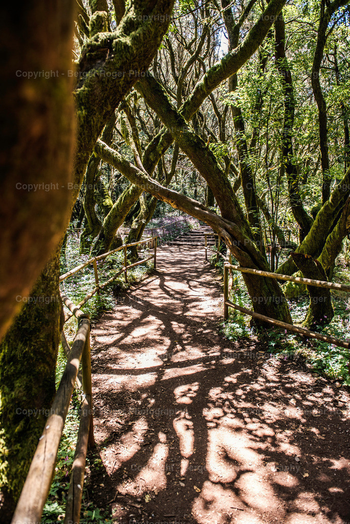 Lorbeeren Wald 2 | Lorbeeren Wald auf La Gomera