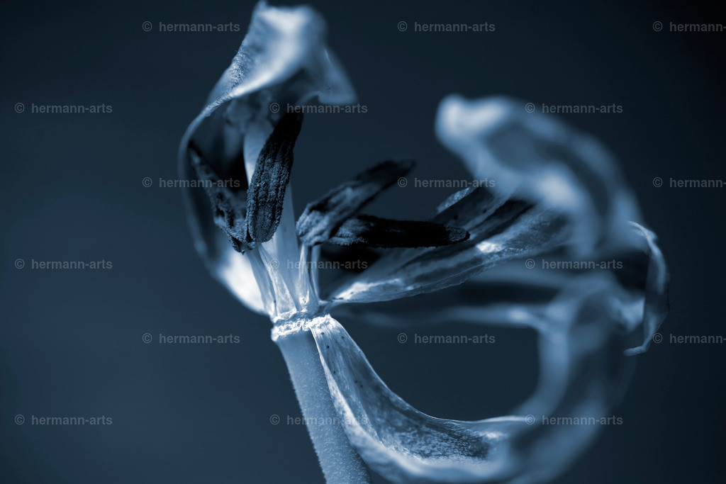 Tulipa_05_20_DPP-45
