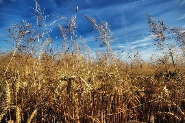 Erntezeit | Getreidefeld bei Drispenstedt, die Ernte steht kurz bevor