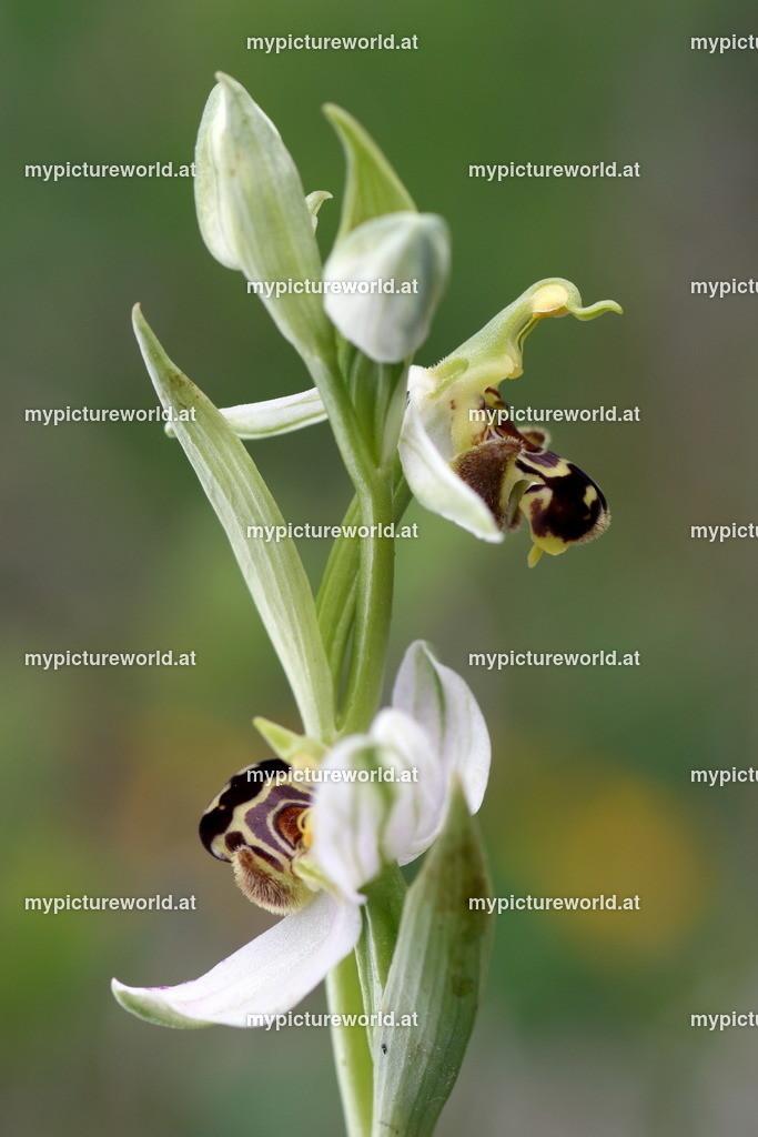 Bienen-Ragwurz-017
