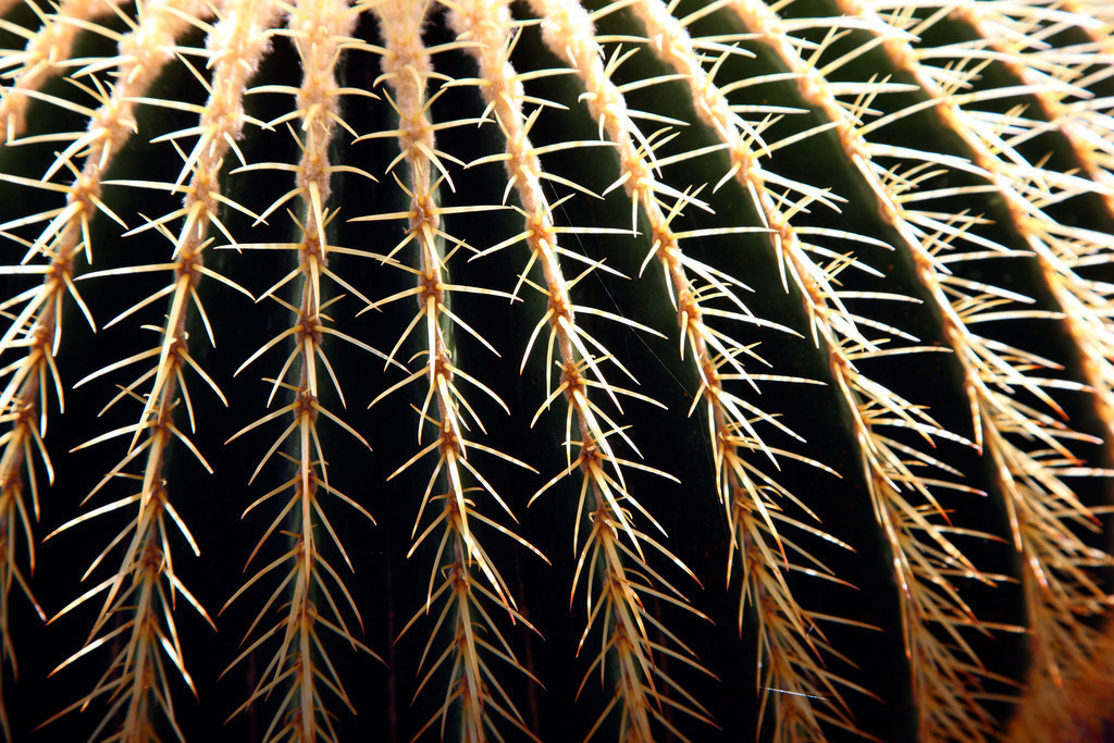 JT-111011-012 | Goldkugelkaktus, Echinocactus grusonii,