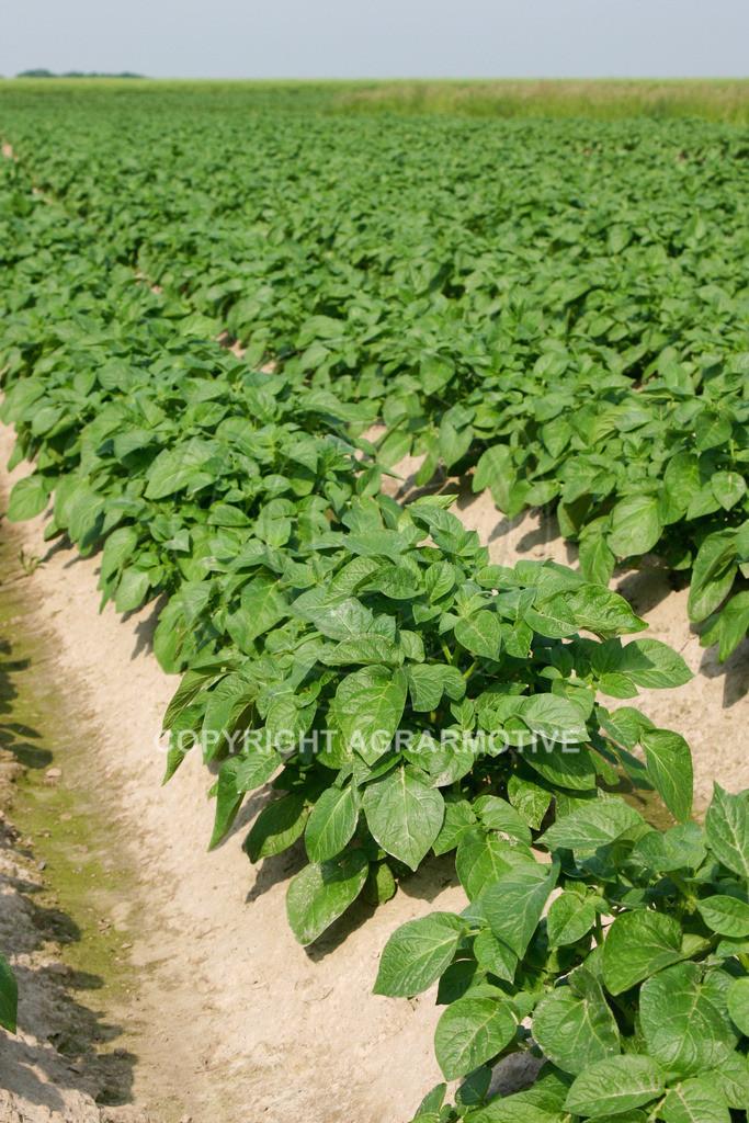 142_4299 | Kartoffelacker - AGRARBILDER