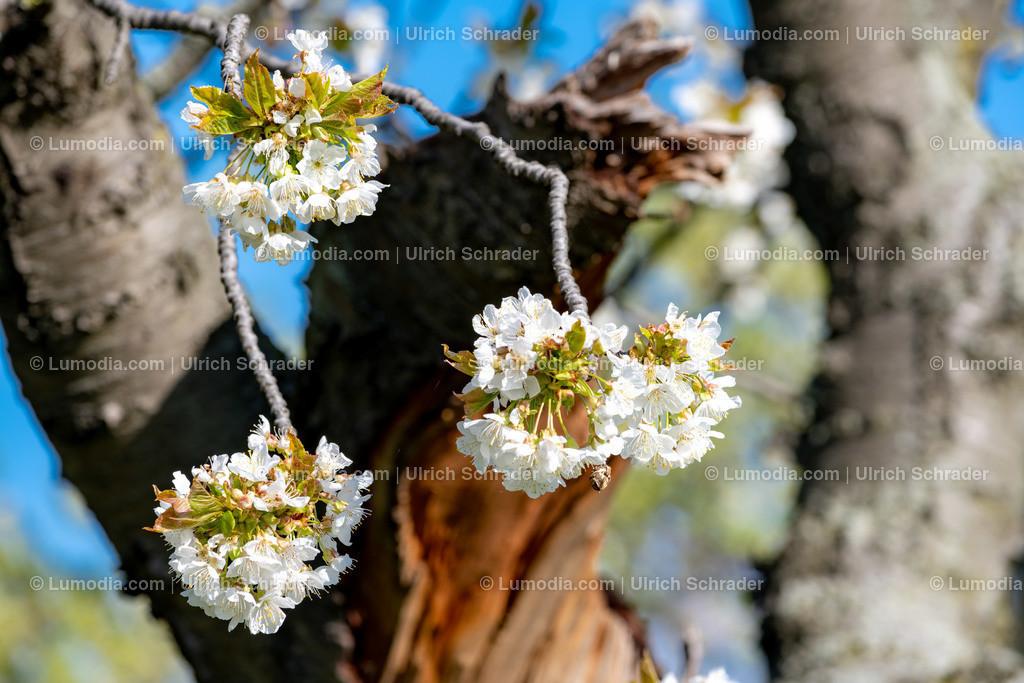 10049-10708 - Baumblüte im Harzvorland | max. Auflösung 8256 x 5504