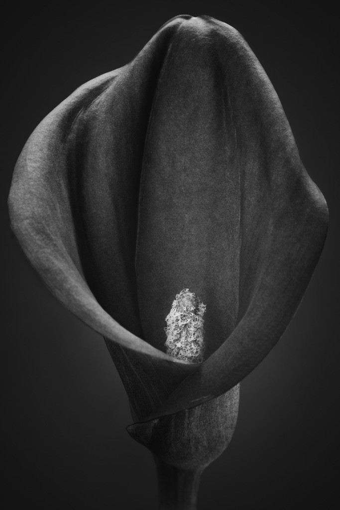 Schwarzweiße Schönheit - Zantedeschia   Calla-Blüte in Schwarzweiß (Zantedeschia).