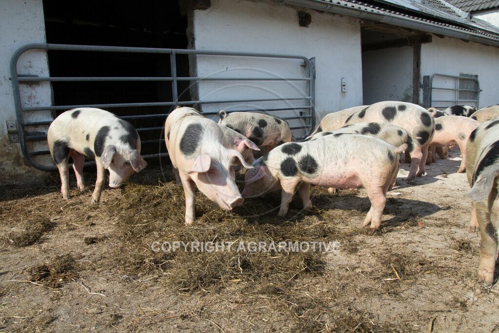 20130425-_MG_6223 | Bioschweine - AGRARMOTIVE Bilder aus der Landwirtschaft