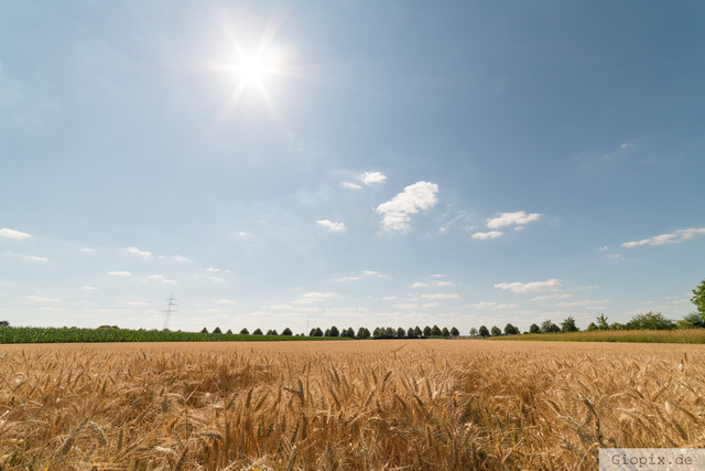 Pralle Sonne überm Kornfeld | Kornfeld in Raderbroich im Hochsommer