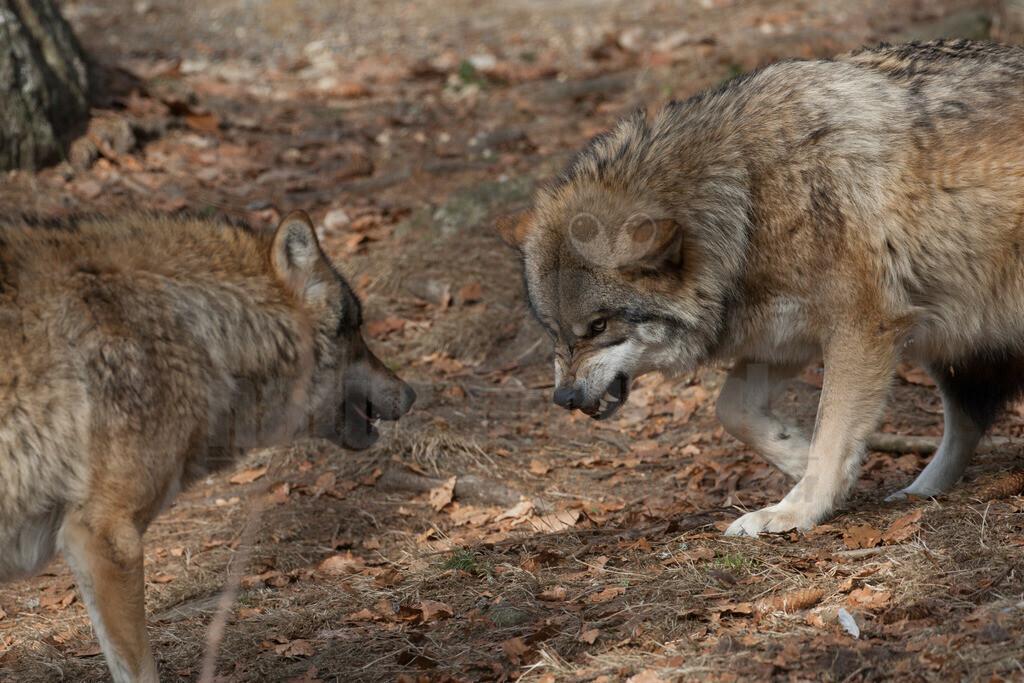 20080215_13470515016 | Der Wolf ist rezent das größte Raubtier aus der Familie der Hunde. Wölfe leben meist in Familienverbänden, fachsprachlich Rudel genannt. Hauptbeute sind in den meisten Regionen mittelgroße bis große Huftiere.