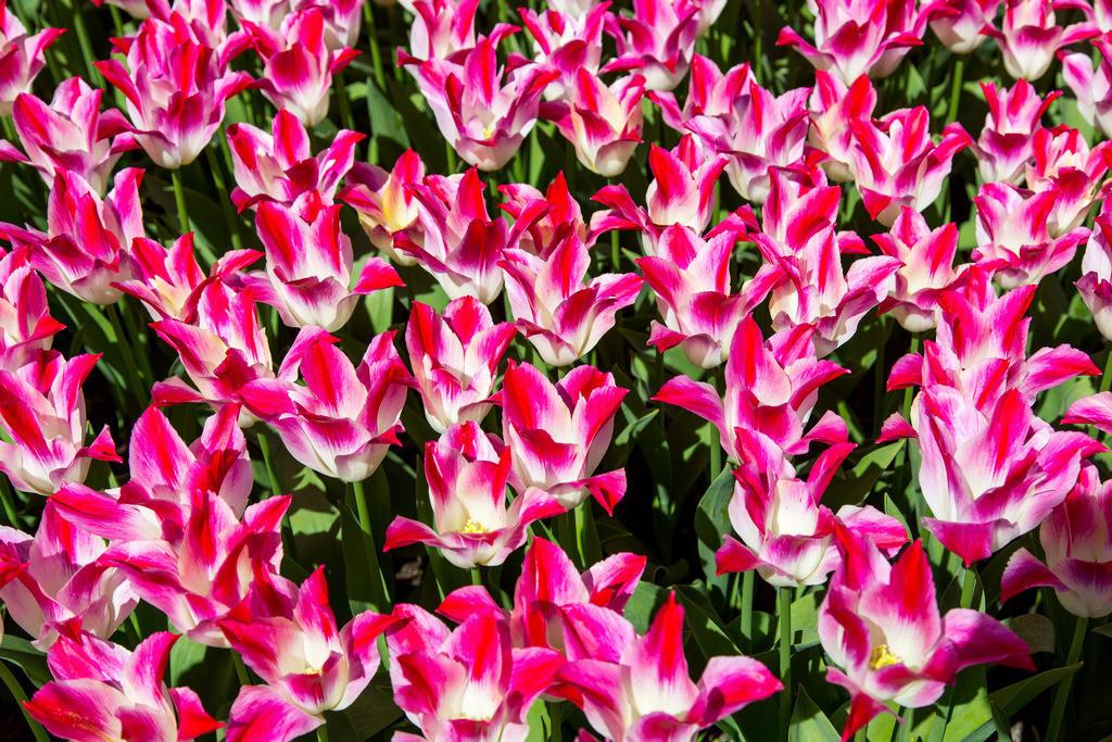 JT-160803-150 | viele Tulpen, Tulpenfeld, Tulpenbeet, rot, weiss,