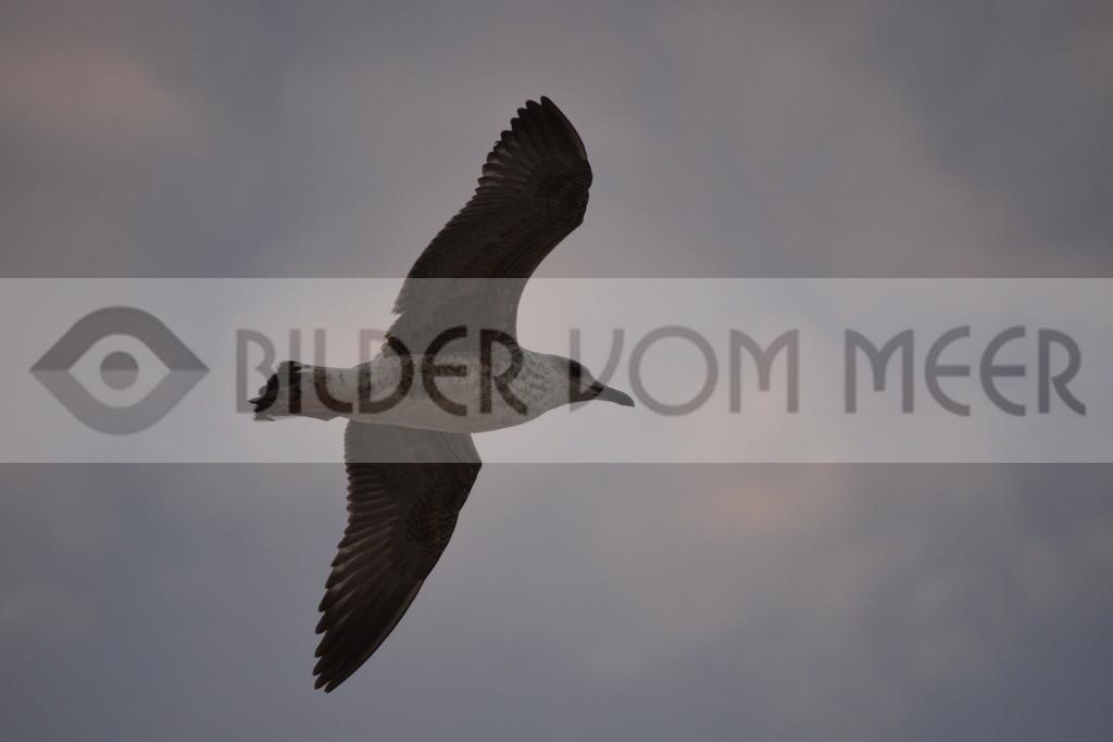 Möwen Bilder | Möwe im Gleitflug über Tanger