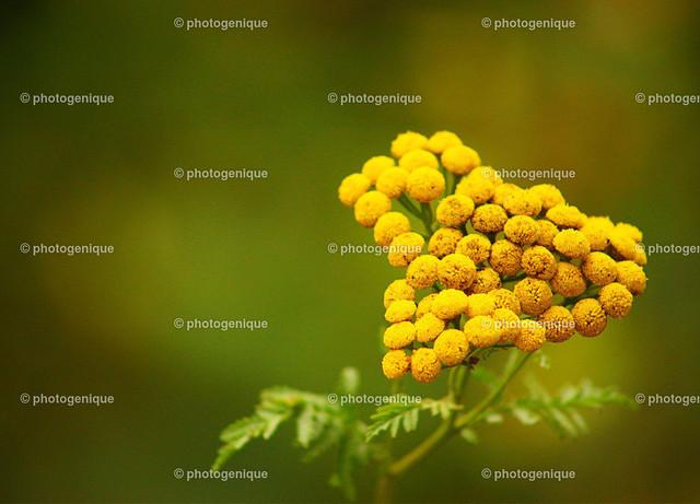 Rainfarn | gelbe Blüte eines Rainfarn oder Wurmkraut in Herzform vor einem grünen Hintergund bei Tageslicht