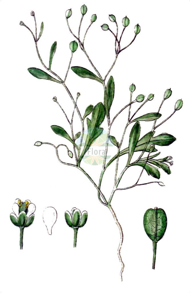 Hornungia pauciflora | Historische Abbildung von Hornungia pauciflora. Das Bild zeigt Blatt, Bluete, Frucht und Same. ---- Historical Drawing of Hornungia pauciflora.The image is showing leaf, flower, fruit and seed.