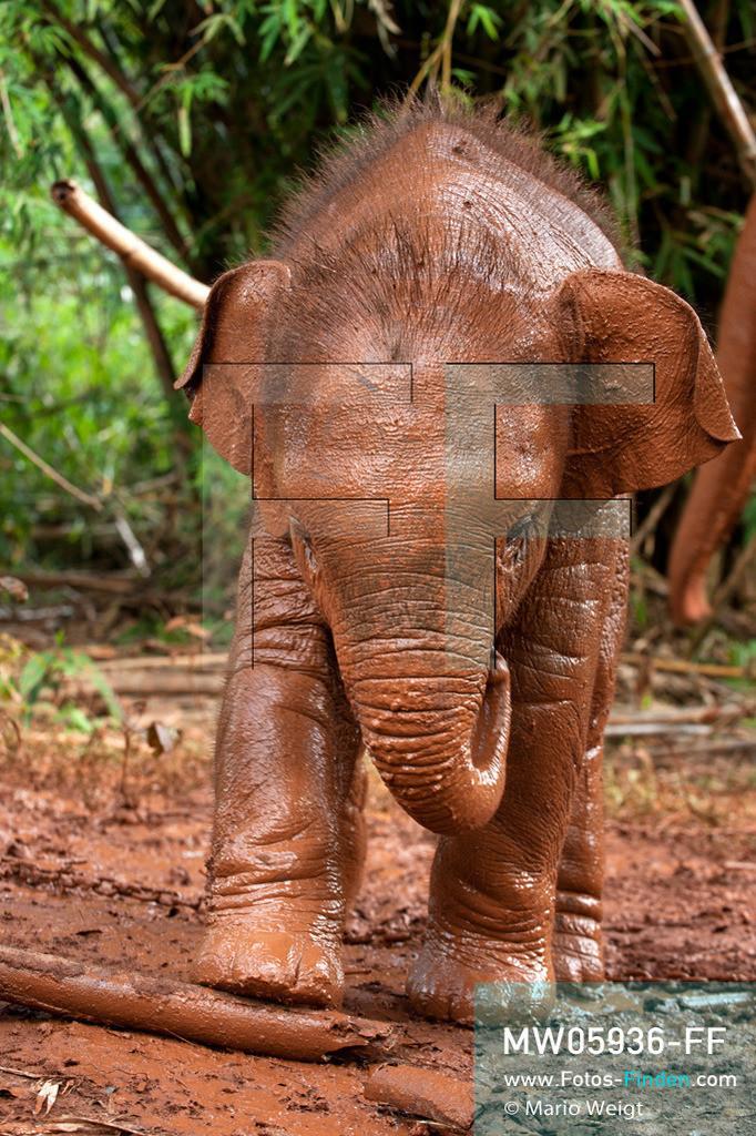 MW05936-FF | Thailand | Goldenes Dreieck | Reportage: Mahut und Elefant - Ein Bündnis fürs Leben | Elefantenbaby nach einem Schlammbad  ** Feindaten bitte anfragen bei Mario Weigt Photography, info@asia-stories.com **