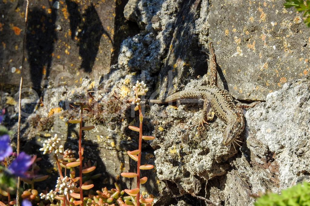 Kletterkünstler | Mauereidechse, fotografiert in der Vulkaneifel