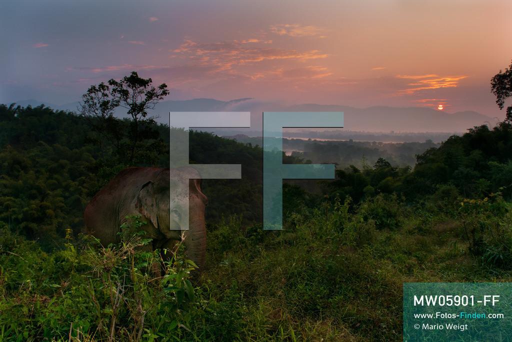 MW05901-FF | Thailand | Goldenes Dreieck | Reportage: Mahut und Elefant - Ein Bündnis fürs Leben | Asiatischer Elefant im Dschungel bei Sonnenaufgang  ** Feindaten bitte anfragen bei Mario Weigt Photography, info@asia-stories.com **