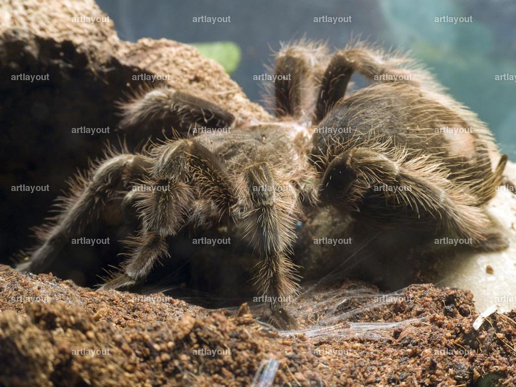 Brachypelma Albopisolum   Brachypelma Albopilosum - Kraushaaarvogelspinne