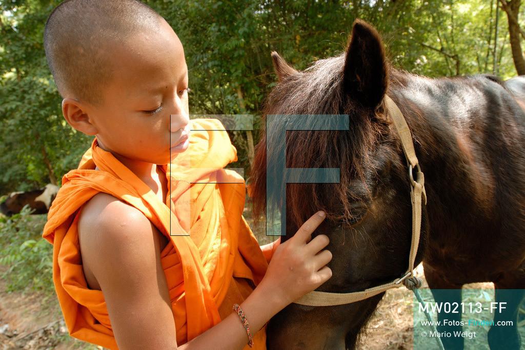 MW02113-FF   Thailand   Goldenes Dreieck   Reportage: Buddhas Ranch im Dschungel   Der junge Mönch Aa-Sue streichelt sein Pferd The-Wa   ** Feindaten bitte anfragen bei Mario Weigt Photography, info@asia-stories.com **