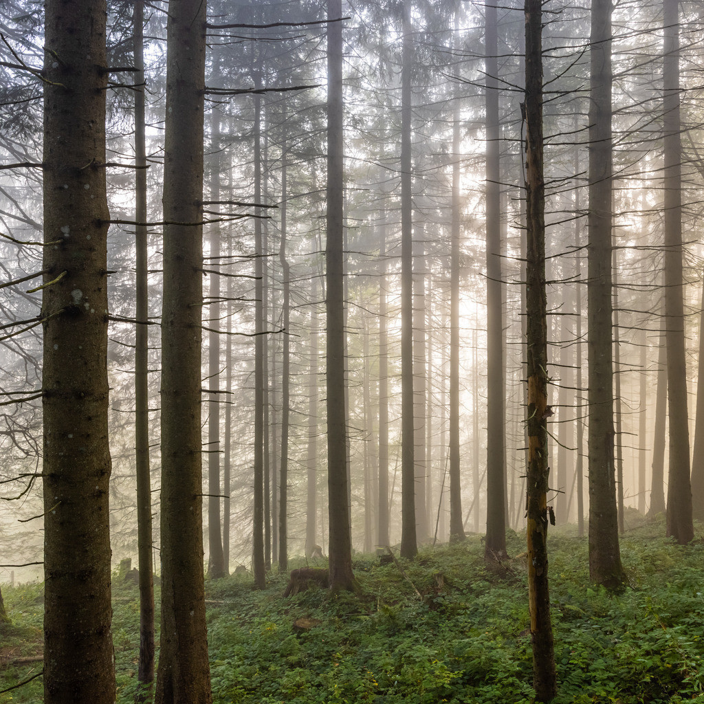 The shining forest | Some sun rays let the forest shine and the fog disappear.