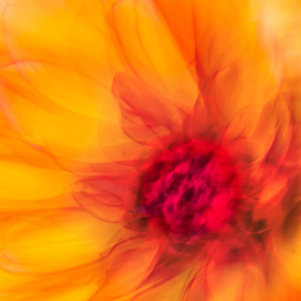 Pflanzen abstrakt   Triptychon Kyrene 1   Best. Nr. d_2020_06_0090   Abstraktes ICM Makroportrait einer orangefarbenen Dahlienblüte.