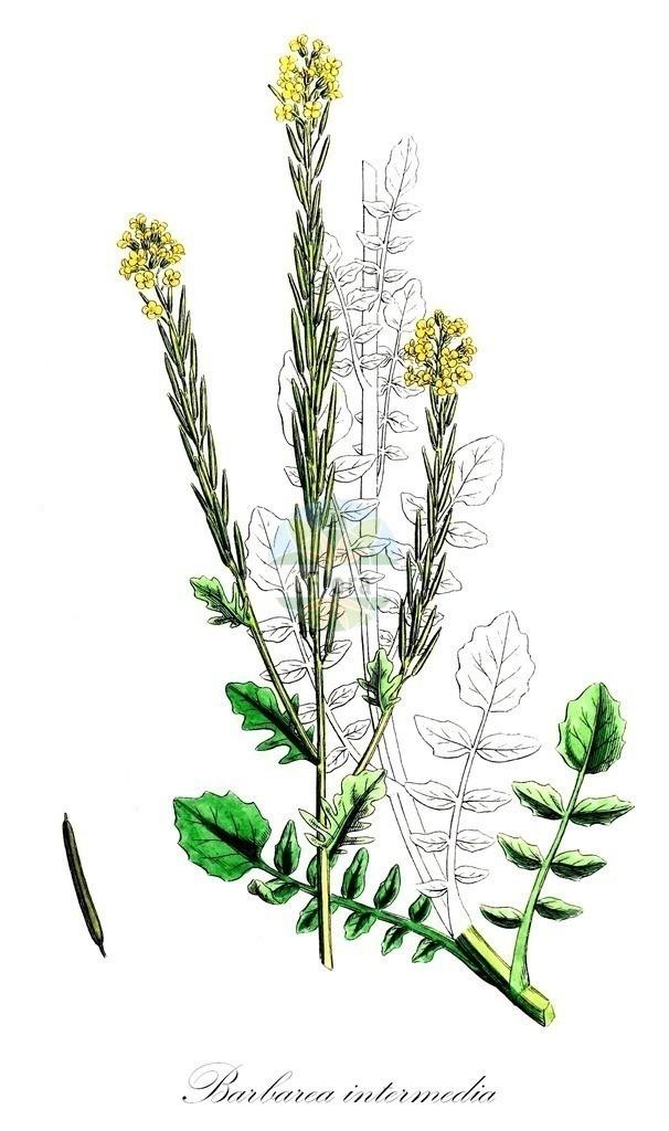 Historical drawing of Barbarea intermedia (Medium-flowered Winter-Cress) | Historical drawing of Barbarea intermedia (Medium-flowered Winter-Cress) showing leaf, flower, fruit, seed