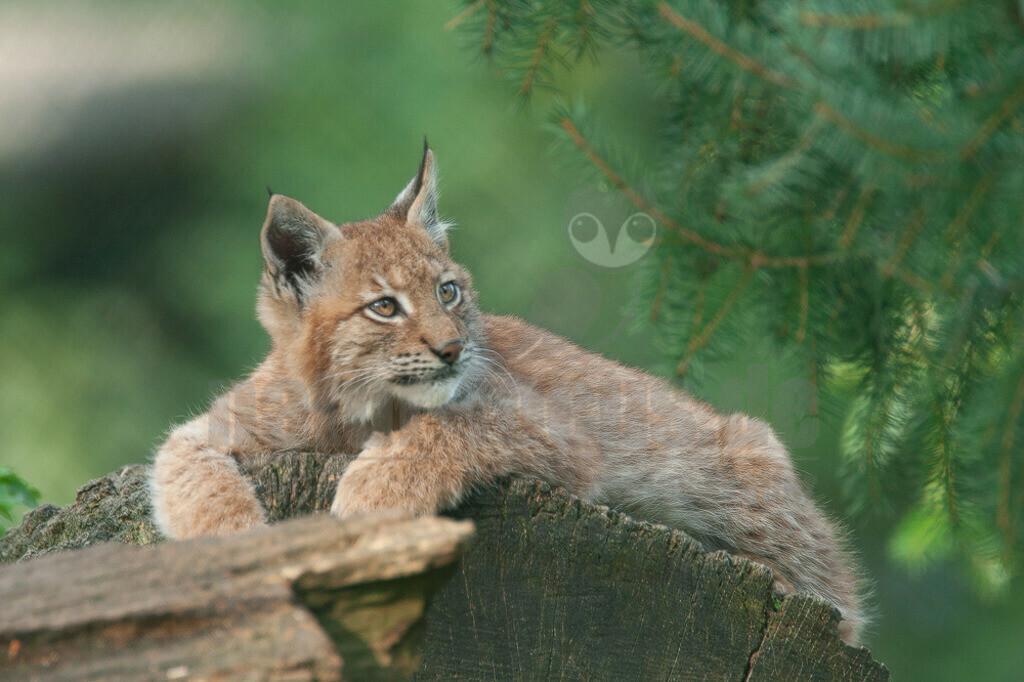 20070921171245 | Die Luchse sind eine Gattung der Familie der Katzen. Alle vier heute lebenden Arten kommen auf der Nordhalbkugel vor: Der Eurasische Luchs ist in weiten Teilen Europas und Asiens verbreitet.